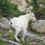 Wildlife Watching - Mountain Goat